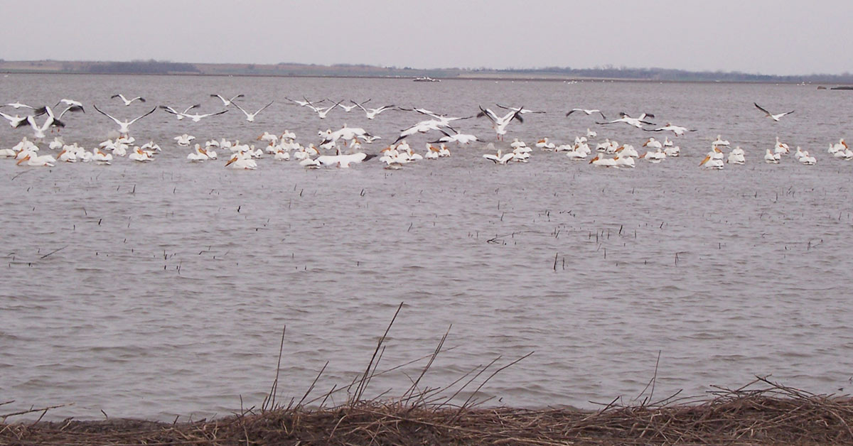 White Pelicans flock together on a large body of water just offshore. Small hills can be seen across the water on the far shore.