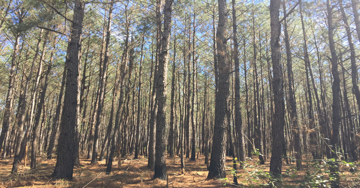 Large pine trees reach for a bright blue sky.